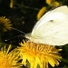 Pieris brassicae by pyrrhula