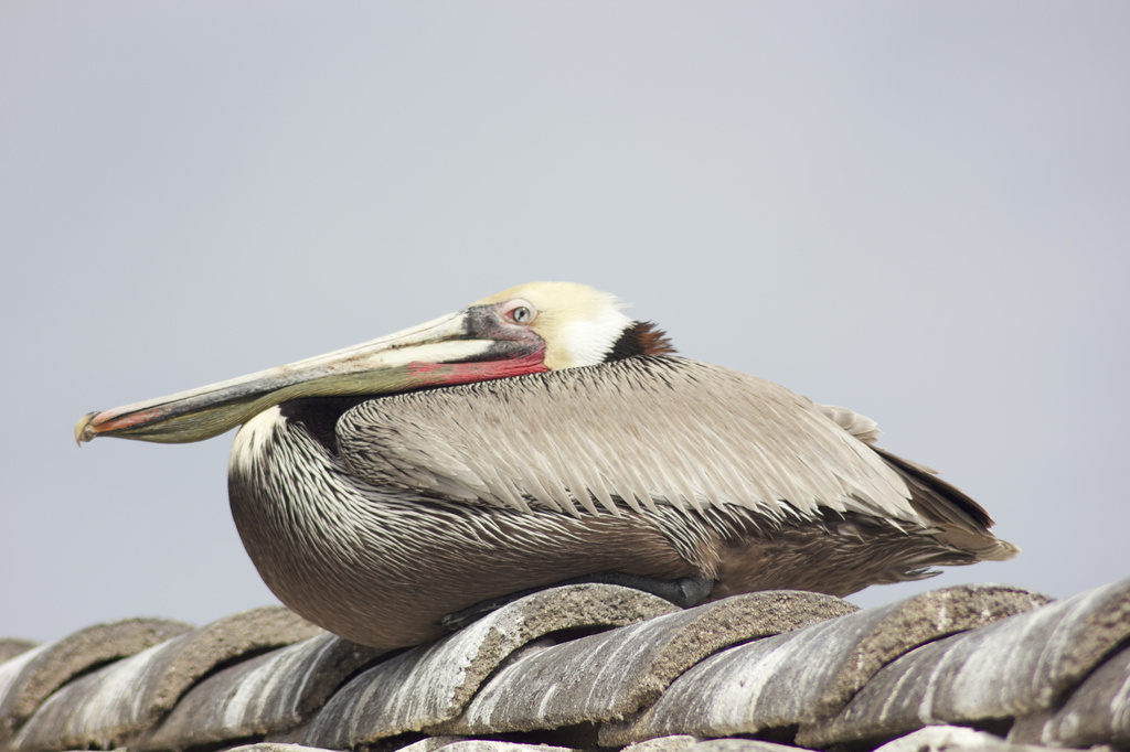 San Diego Pelican by jamibann