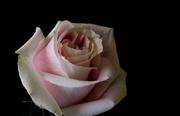 17th Feb 2014 - Soft Valentine's rose