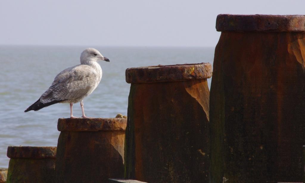 Gull and groynes by karendalling