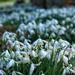 Snowdrops by craftymeg