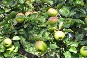 24th Sep 2010 - Apples