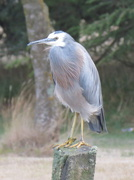 1st Mar 2014 - White-faced heron