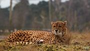 1st Mar 2014 - Cheetah