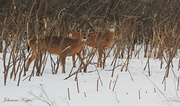 1st Mar 2014 - March 1 14  Two Deer