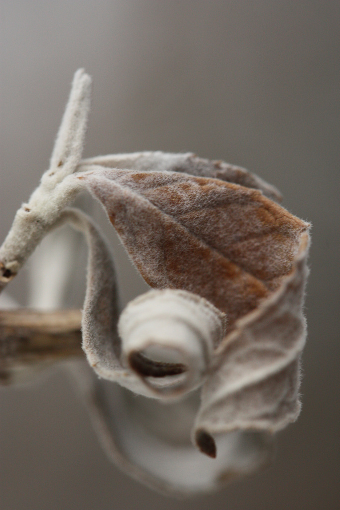 Frosty and Furled by mzzhope