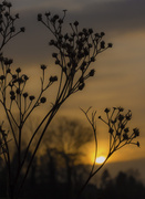 2nd Mar 2014 - Waiting for the wind to spread the seed.......