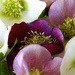 Hellebores in a dish! by nicolaeastwood