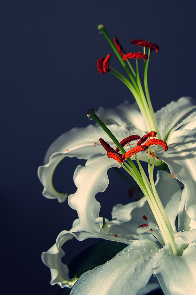 Day 060, Year 2 - Valentine Lilies by stevecameras