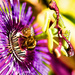 Passion Flower Daze by cdonohoue