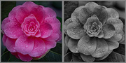 4th Mar 2014 - Two Camellias