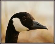 6th Mar 2014 - Goosey