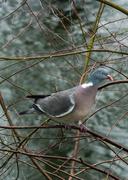 6th Mar 2014 - Wood pigeon - 6-03