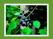 27th Sep 2010 - Berries