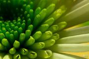 7th Mar 2014 - Chrysanthemum I