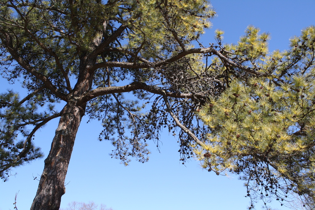 Pine tree on a pretty day by mittens