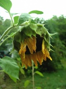 27th Sep 2010 - A Not-So-Sunflower