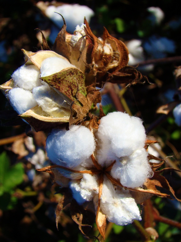 C is for Cotton by dmrams