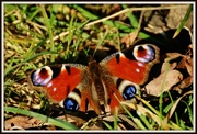 9th Mar 2014 - Butterflies are back