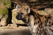9th Mar 2014 - Spotted Hyena