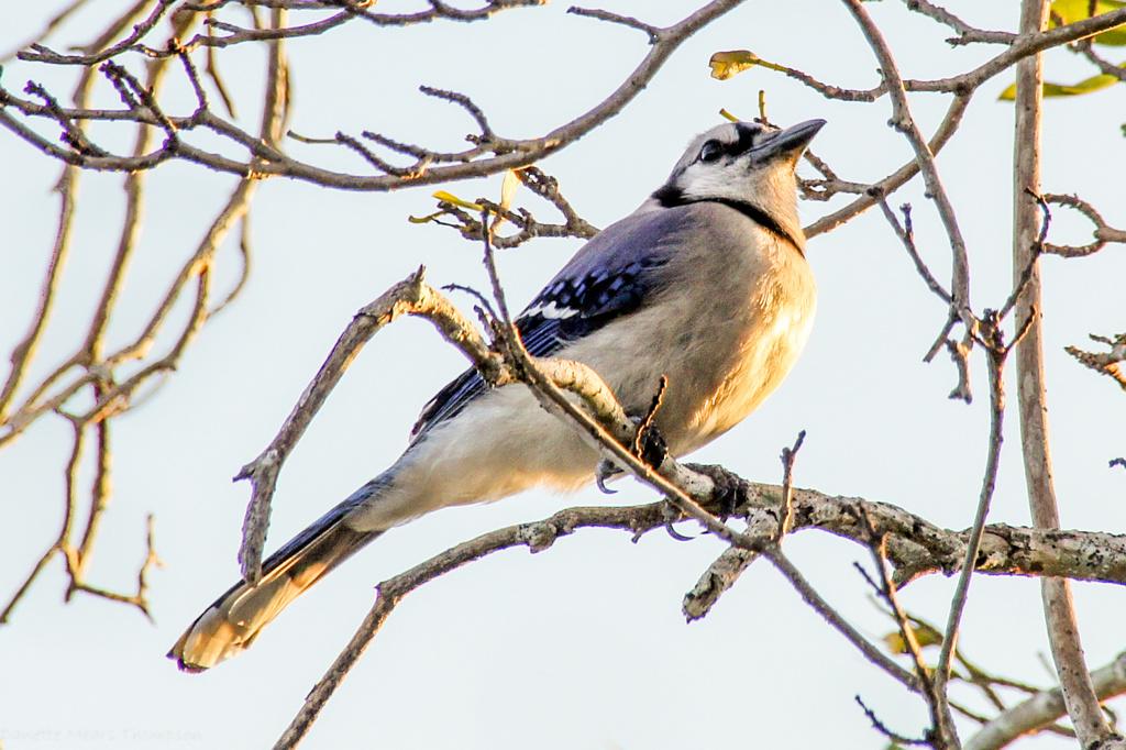 Blue Jay by danette