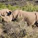 Black Rhino by salza