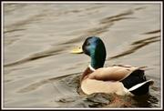 10th Mar 2014 - Happy duck