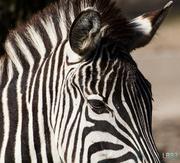 10th Mar 2014 - Zebra