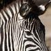 Zebra by leonbuys83