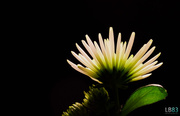 11th Mar 2014 - Chrysanth
