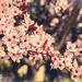 84/365: Ciruelo rojo / Cherry plum by jborrases