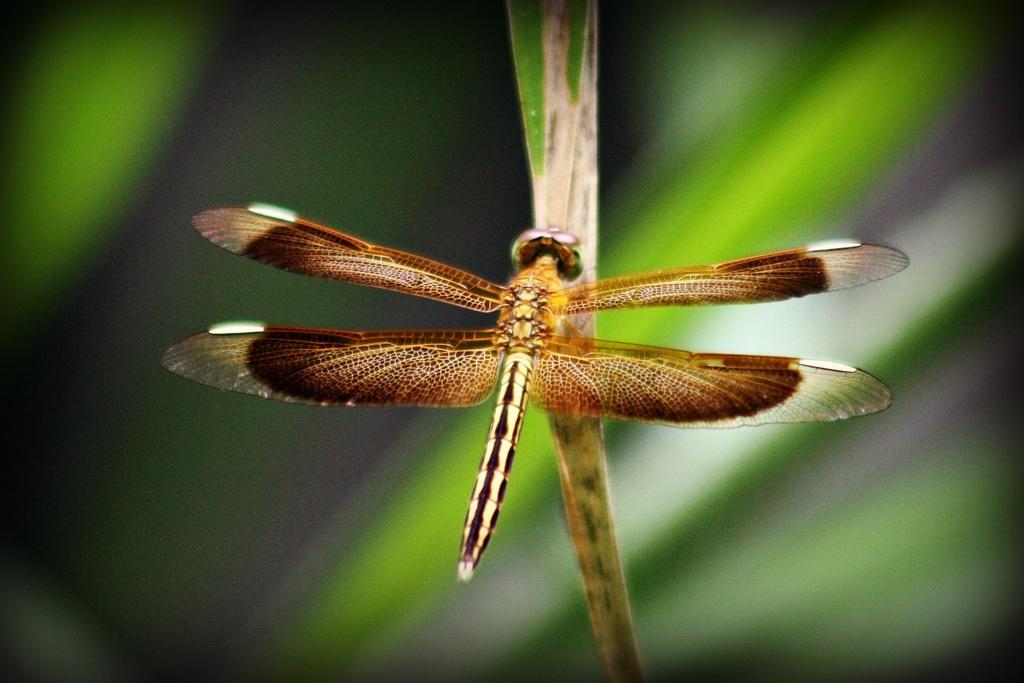 Dragonfly 3 by leestevo