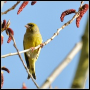 14th Mar 2014 - Greenfinch and blue skies