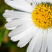 Common lawn daisy... and friend! by vignouse