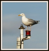15th Mar 2014 - Herring gull
