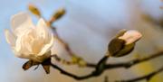 18th Mar 2014 - Magnolia blossom - 18-03