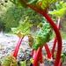 Rhubarb.... by snowy