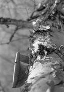 17th Mar 2014 - Appealing Birch