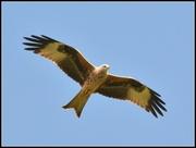 21st Mar 2014 - Red Kite