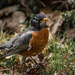 American Robin Visit by darylo