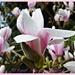 Magnolia by carolmw