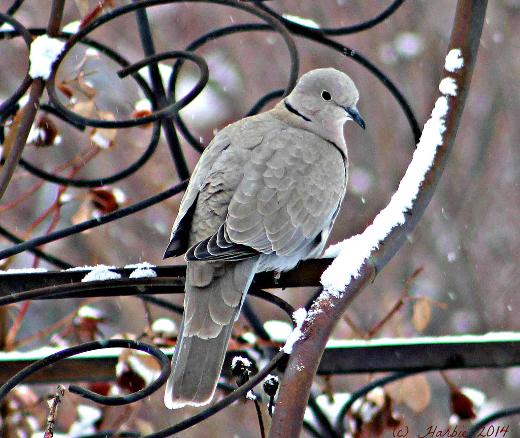 Morning Dove Perched on the Arbor by harbie