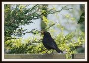24th Mar 2014 - Blackbird singing in the dead of night