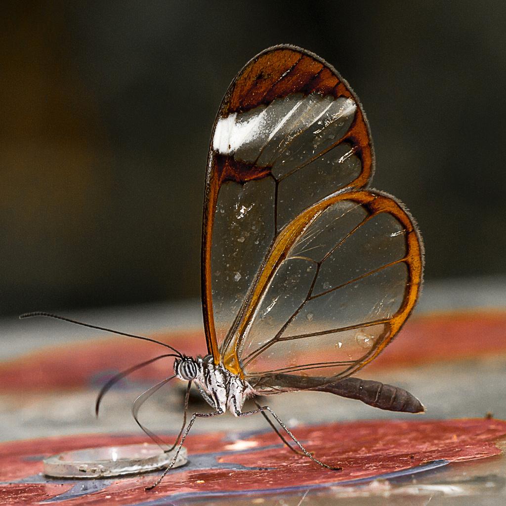 glasswing by jantan