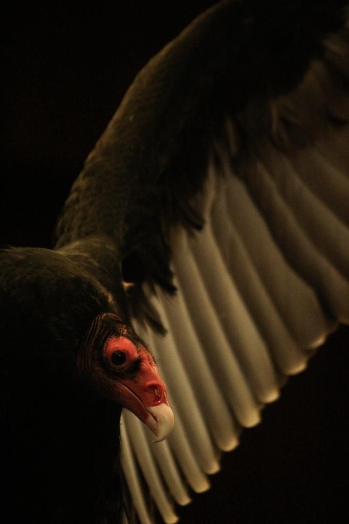 Turkey Vulture by mzzhope