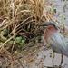 Green Heron at Circle Bar B Reserve by rob257