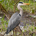 Prowling heron 25-03 by barrowlane