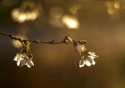 27th Mar 2014 - Blossom and Bokeh.......