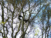 27th Mar 2014 - Crows In The Twisted Tree