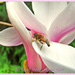 Magnolia And Hoverfly by carolmw
